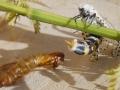 """""""Endlich raus da"""" Zeuzera pyrina-Blausieb bekommt man selten zu Gesicht, da die Raupe sich im Baum entwickelt. Erst, nachdem sich die Puppe aus dem Holz herrausdreht, kann man das Glück haben, beim Schlupf dabei zu sein."""