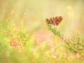 kleines Juwel im Moor - Boloria aquilonaris