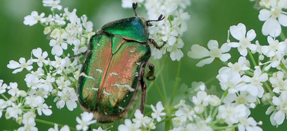 Hier ein kleiner Text zu dem Käfer 01.06.13-Stb-Rosenkäfer
