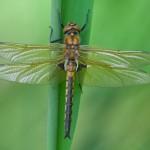 Nur zwei Flecken an der Hinterflügelbasis gaben dieser sehr scheuen Frühjahrsart ihren Namen. Der starke Glanz der Flügel zeigt an, dass es ein frisch geschlüpftes Tier ist – typisch für viele Libellen.