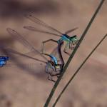 Becher Azurjungfer lernt bei den Pechlibellen