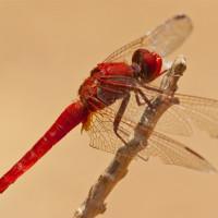 libellebreit