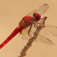 libellefrank